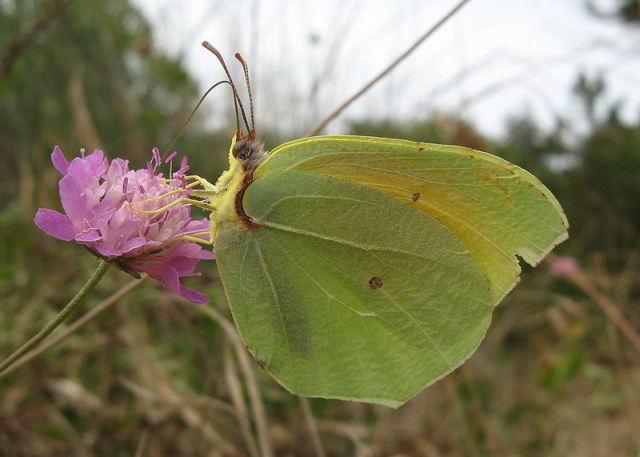 cleopatra-butterfly-menorca